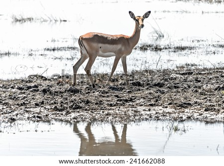 Red lechwe antelopes (Kobus leche) in Chobe National Park - Botswana, South-West Africa - stock photo
