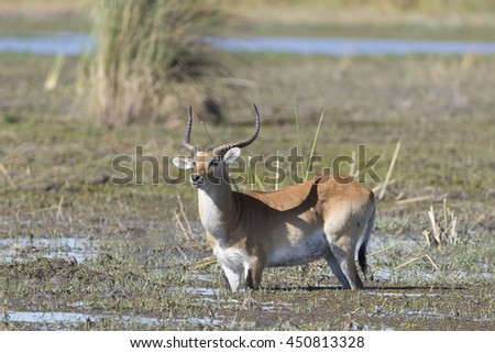 Red Lechwe in water in Moremi Botswana