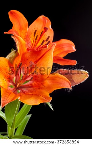 red Lilies. a heraldic fleur-de-lis. A vibrant spray of two wine red lily flowers (Lilium bulbiferum croceum) and buds, isolated on black with clipping path. - stock photo