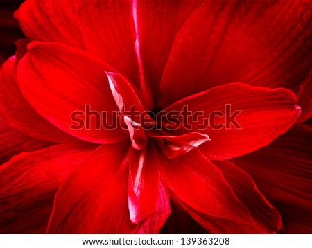 Red lily flower. Abstract background. Close-up. - stock photo