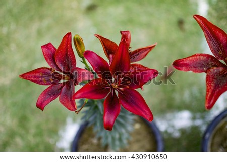 Red lily flowers with buds and green background. - stock photo
