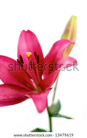Red lily isolated over white - stock photo