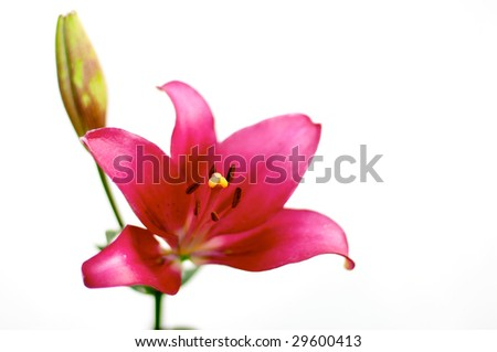 Red lily over white - stock photo