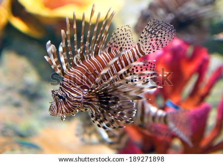 Red lionfish (Pterois volitans) aquarium fish, a venomous coral reef fish  - stock photo