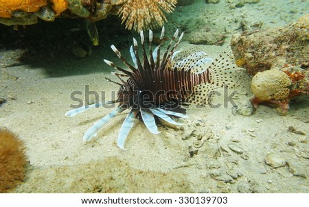 Red lionfish, Pterois volitans, invasive fish in the Caribbean sea, Panama, Central America