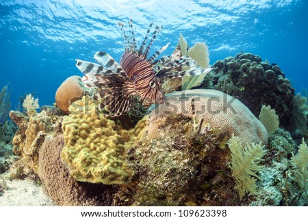 red lionfish (Pterois volitans) on coral reef - stock photo