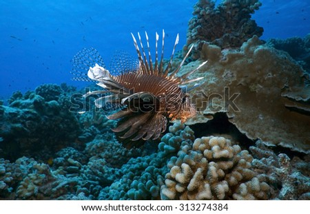 RED LIONFISH SWIMMING IN CORAL REEF CLEAR BLUE WATER