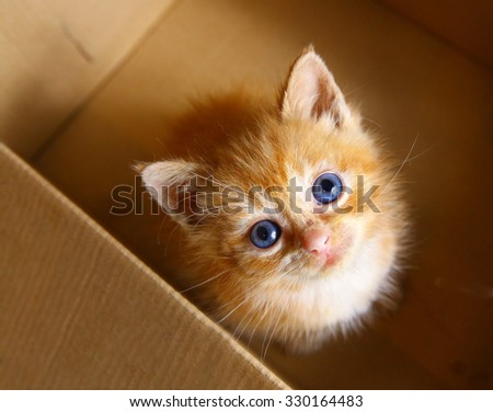 red little blue eye kitten in the box