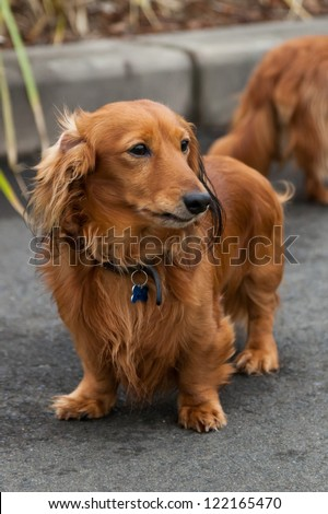Red long-haired dachshund standing in the street - stock photo