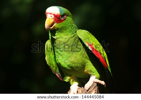 Red-lored Amazon parrot / Amazona autumnalis - stock photo