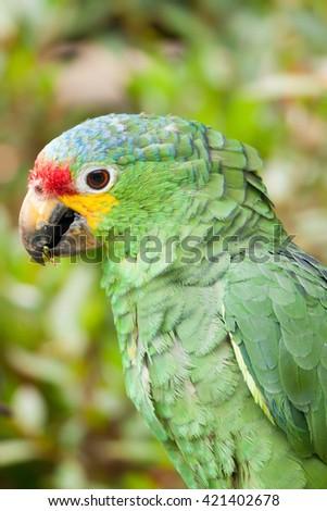 Red-Lored Amazon parrot (Amazona autumnalis), Tikal, Guatemala - stock photo