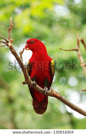 Red Lory standing on a tree branch, parrot - stock photo