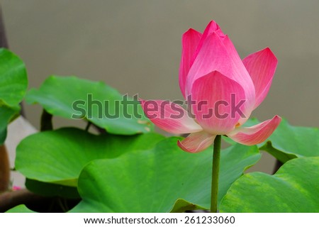 Red lotus - stock photo