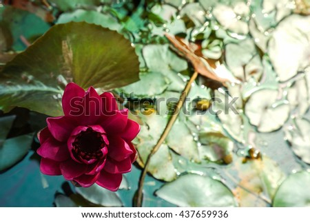 Red lotus bloom tub flowers nature stock photo royalty free red lotus bloom in the tub flowers in nature it is natural lotus home and morning mightylinksfo