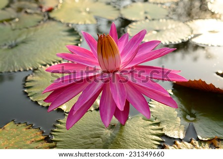 Red lotus flowers (Water Lily) in  blooming - stock photo