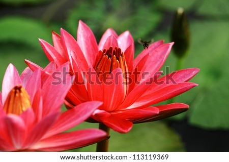 Red lotus flowers water lily twin stock photo royalty free red lotus flowers water lily in twin are blooming mightylinksfo