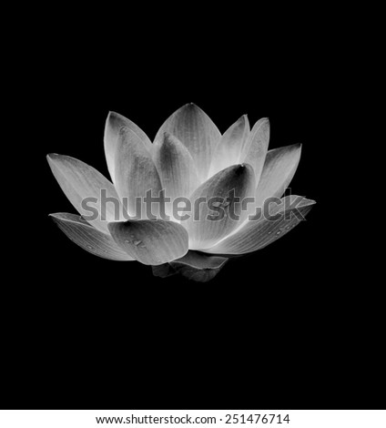 Red lotus isolated on black background. - stock photo
