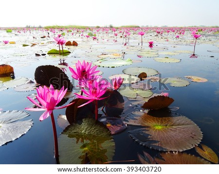 Red lotuses bloom during season in the famous red lotus Lake in Udon Thani, Thailand. - stock photo