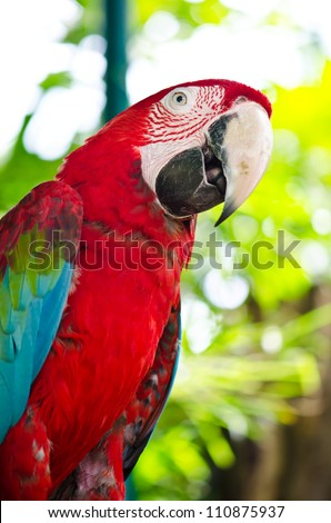 Red Macaw in the nature.