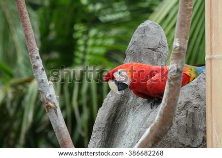 Red Macaw in Tree