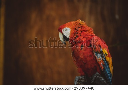 Red macaw (parrot) - stock photo