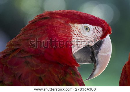 Red Macaw Parrot in Bali Bird Park, Indonesia - stock photo