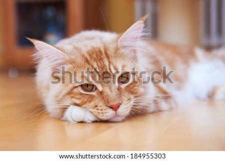 Red Maine Coon Kitten lying on the floor