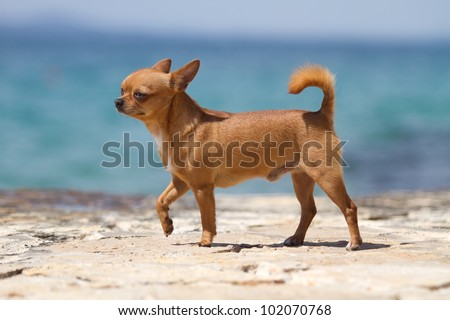 red, male chihuahua