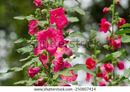 red mallow flowers blooming in summer season at the garden background, Mu Gung Hwa (mugunghwa) or Rose of Sharon. - stock photo
