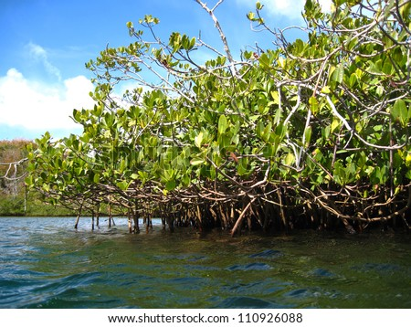 Red Mangrove Forest from water level, Bermuda - stock photo