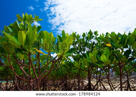 Red Mangrove in KAWAMITSU-Rhizophora mucronata, Okinawa Prefecture/Japan, 2013/6/18.  - stock photo