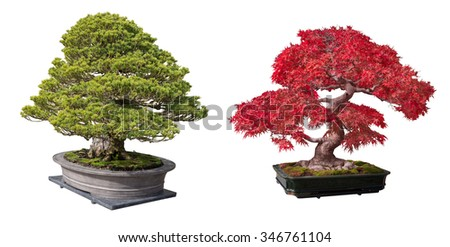 Red maple and bonsai tree isolated on a white background. - stock photo