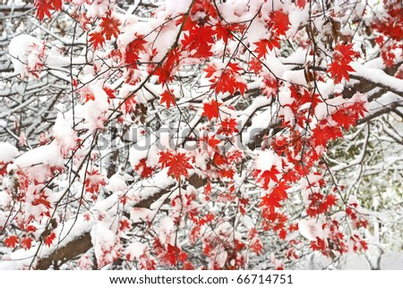 red maple fallen leaves tree snow covered - stock photo