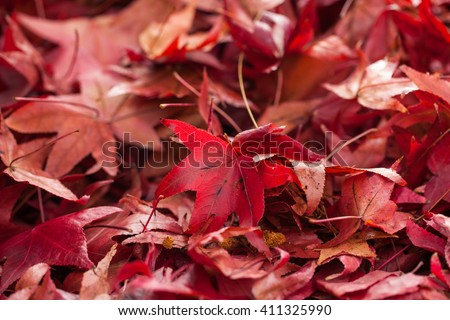 Red maple falling leaves on the earth background. Close up. - stock photo