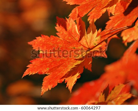 Red maple leaf, autumn - stock photo