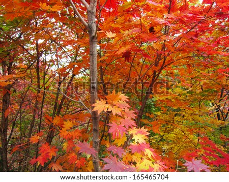 red maple leaf in a scenic spot, north china