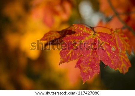 Red maple leaf in autumn. - stock photo