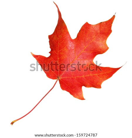 Red maple leaf isolated on white background. Fall