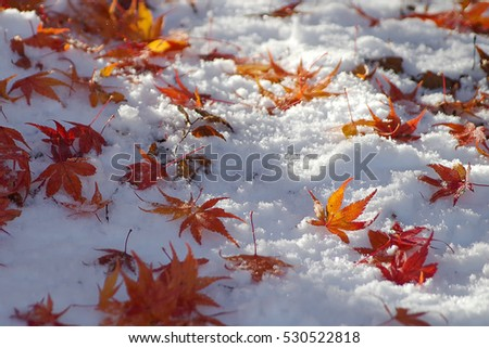 Red maple leaf on the snow