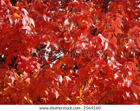 red maple leafs - stock photo