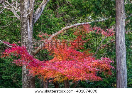 Red maple leaves and branch in fall. Colorful leaves in late autumn foliage in Japan, Asia. - stock photo