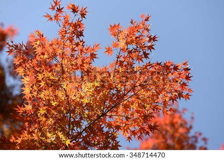 Red maple leaves background blue sky