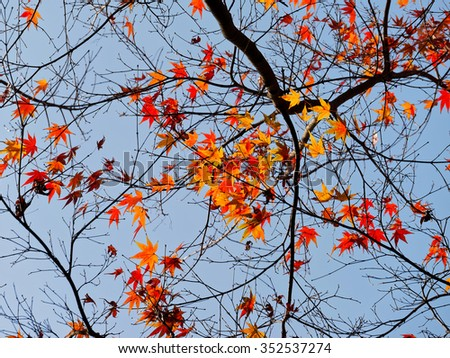 Red maple leaves in autumn, against blue sky background