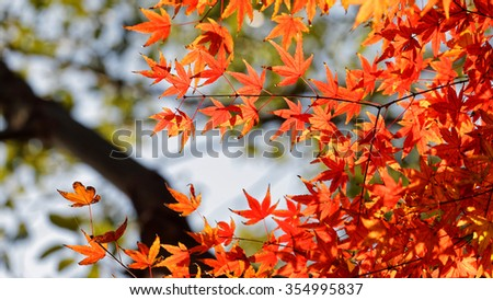 Red maple leaves in autumn, blurred background
