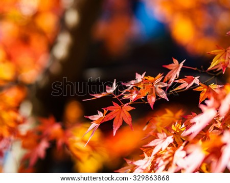 Red maple leaves in autumn, Red maple leaves in autumn during the month of November in Japan. - stock photo