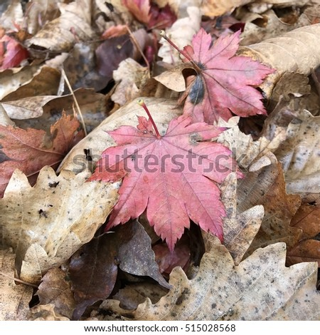 Red maple leaves on a background of faded autumn leaves