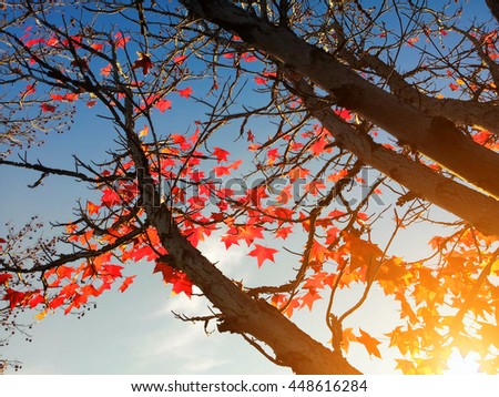 Red maple leaves on the tree against the sky and sunlight - stock photo