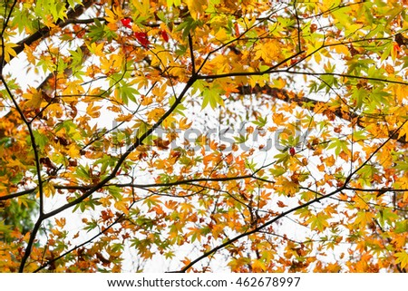 Red maple tree in forest in fall season, Beautiful autumn background.