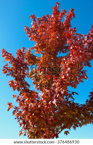 Red maple tree in the fall season with blue sky background.