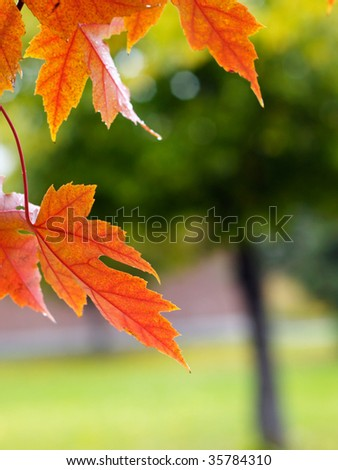 Red maple tree in the garden - stock photo